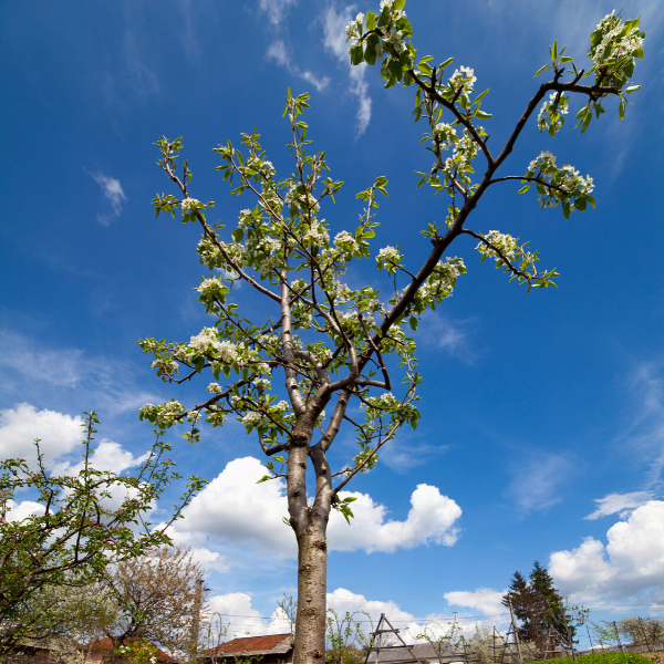 a pear tree sapling with blue sky in the background